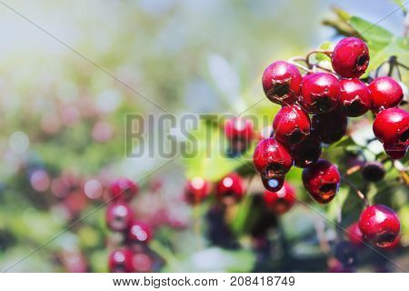 Hawthorn berries on a green branch, Sunny day, and medicinal berries.