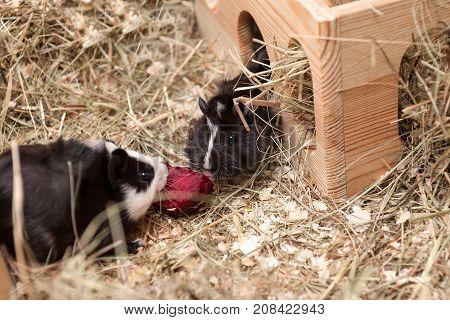 Little cute black guinea pigs eating beetroot.