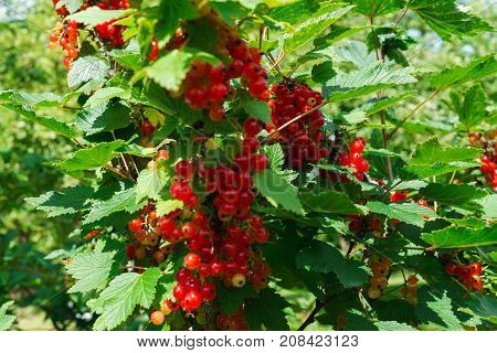 Bunches of ripening red currant berries in the garden in the summer.