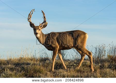 Mule Deer Buck lit by the rising sun.