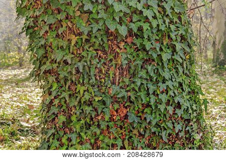 Virgin Forest, trees with green ivy background