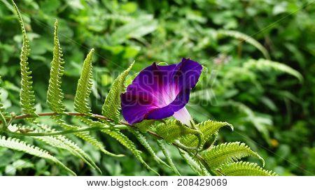 Flor de monte con hermoso color violeta y blanco
