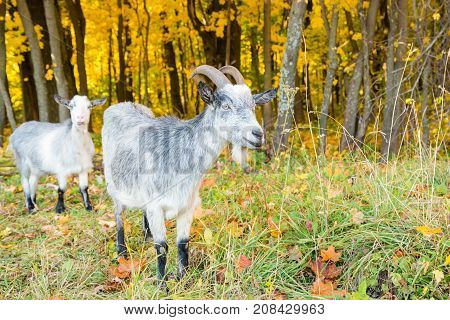 Goats On The Background Of Autumn Forest