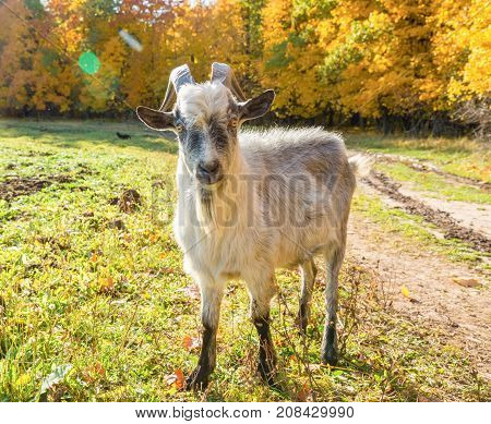Horned Goat On The Background Of Autumn Forest