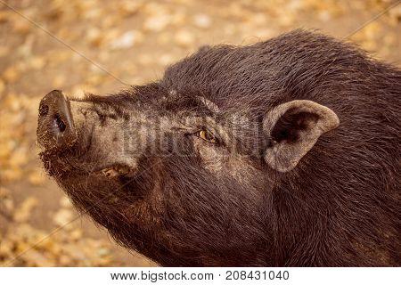 portrait of a black boar closeup of a beautiful and bright