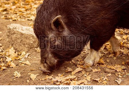 black boar is looking for food on autumn soil among fallen leaves