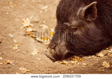 the muzzle of a black boar above the autumn earth with fallen leaves