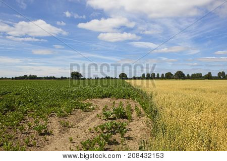 Oats And Sugar Beet