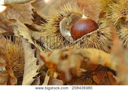 Chestnut and chestnut bur in autumn forest