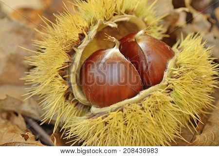 Couple of chestnuts in chestnut bur - macro