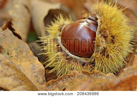 Chestnuts in chestnut bur - macro photography