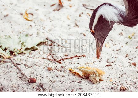 portrait of a crane who wants to peck bread lying on the sand