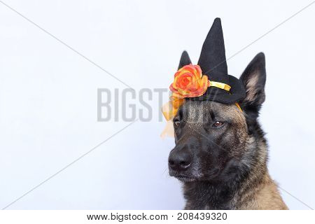 Belgian Shepherd Malinois dressed in a sharp hat and an orange flower for the halloween party with the straight ears