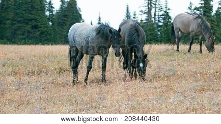 Wild Horses in Montana United States - Blue roan mare and Black stallion grazing together in the Pryor Mountains Wild Horse Range