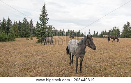 Wild Horse in Montana United States - Blue Roan Yearling mare wild horse in the Pryor Mountains Wild Horse Range