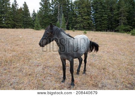 Wild Horse in United States - Blue Roan Yearling mare in the Pryor Mountains Wild Horse Range in Montana