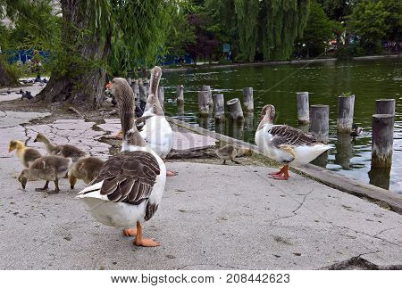 Baby goslings with mother goose in the park