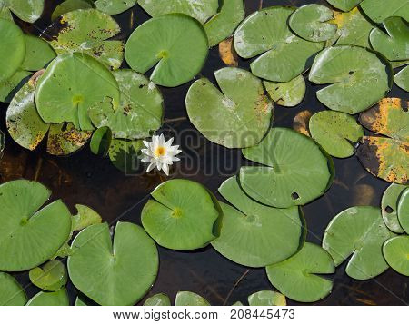 Lillies from Above in a pond at Freedom Park in Coliier County Florida