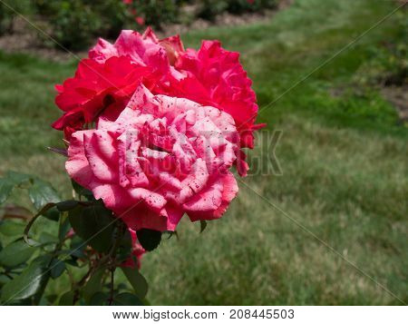 Pink with Red Speckles and a Red Rose at the Columbus Ohio Park of Roses