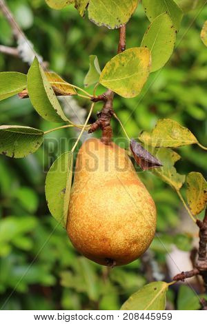 Yellow pear ripening on a pear tree in an orchard