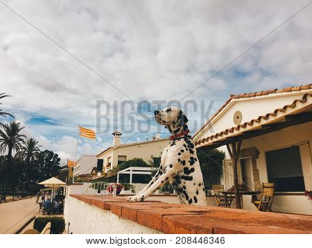 Dog Dalmatian breeds stand in the rack and looks forward leaning front paws on the fence against the backdrop of a house on the waterfront in spain in Catalonia on the Costa Brava