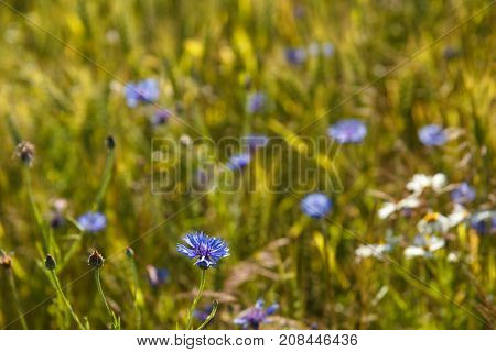 wild flower blur background with cornflower in front