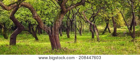 Green background. Trunks of branchy trees in green garden. Apple garden in the summer. Green nature