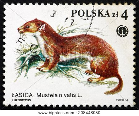 POLAND - CIRCA 1984: a stamp printed in the Poland shows Weasel Mustela Nivalis Protected Animal circa 1984