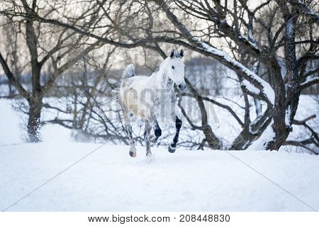 One gray horse running gallop in winter forest