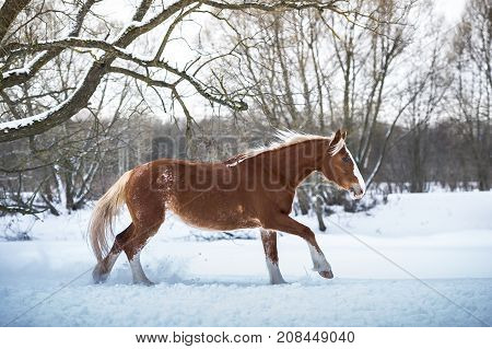 One Bay horse running gallop in winter forest