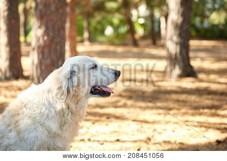 The dog is a labrador in the forest. A friendly dog walks through the forest against the background of the trees. Close-up.