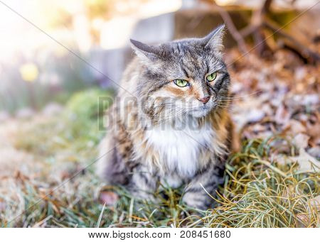Closeup Portrait Of Calico Maine Coon Cat With Green Eyes Sitting Outside Home Garden In Fallen Autu