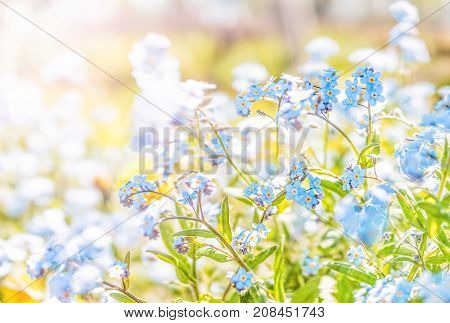 Tiny Blue Forget Me Not Myosotis Flowers Ground Level Macro Closeup View In Summer Garden With Soft