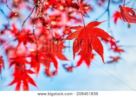 Closeup Of One Bright Red Maple Leaf Hanging On Tree Branch Against Blue Sky Showing Vivid And Vibra