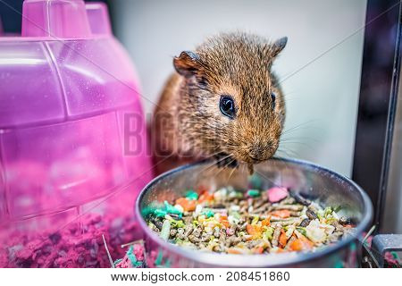 Closeup Of Cute Brown Guinea Pig With Whiskers Eating From Bowl In Cage With Colorful House