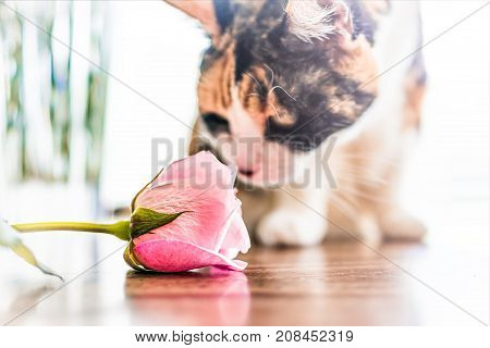 Closeup Portrait Of Curious Calico Cat Sitting On Kitchen Room Table By Window Smelling, Sniffing Pi