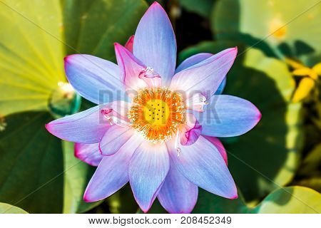 Macro Flat Top View Down Closeup Of Bright Blue And Pink Unique Exotic Rare Lotus Flower With Yellow