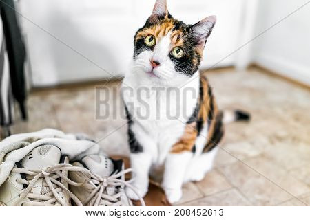 Calico Cat Sitting By Shoes Sneakers Looking Up With Funny Expression, Big Eyes, Asking, Begging For