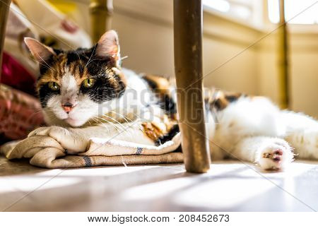 Closeup Of Calico Sleepy Cat Trying To Sleep On Kitchen Towels Under Table On Floor In Room With Sof