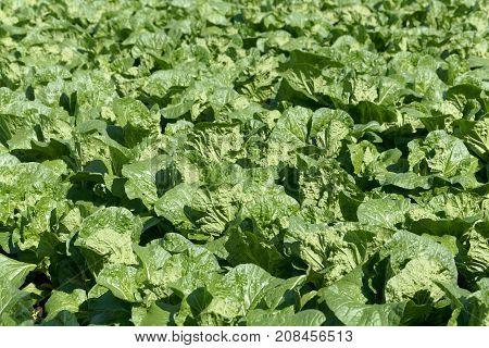Field With Collard Greens