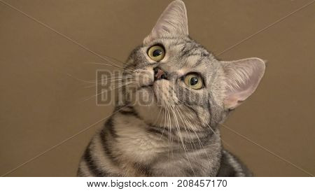 Close-up shot of an American Shorthair cat