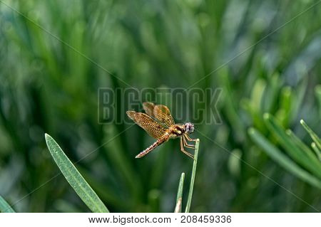Brown Dragonfly With Blue Eyes