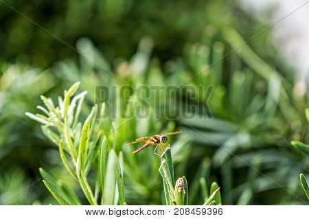 brown Pantala Flavescens Wandering Glider Dragonfly on a bush