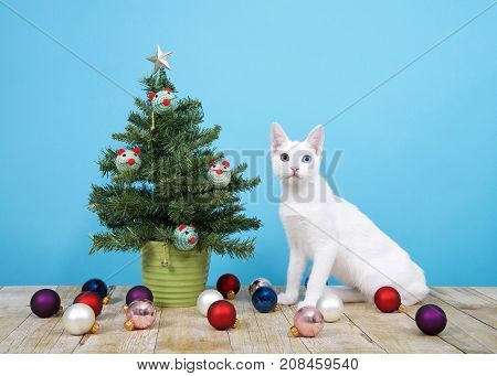 Christmas tree in green pot on wood surface blue background mouse shaped ornaments and star on tree ball ornaments on floor. White cat with heterochromia eyes sitting next to tree looking at viewer