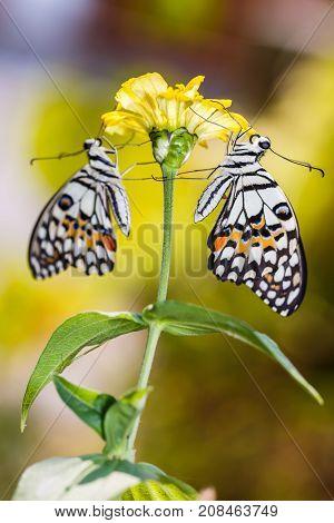 Lime Butterflies On Flower