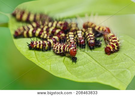 Group Of Middle Instar Leopard Lacewing (cethosia Cyane) Caterpillars