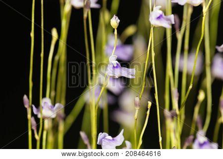Flower Of Utricularia Minutissima.