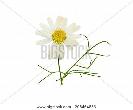 Pressed and dried flower chamomile (camomile). Isolated on white background. For use in scrapbooking pressed floristry or herbarium.