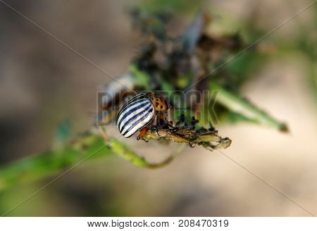 The Colorado potato beetles (Leptinotarsa decemlineata) also known as the Colorado beetle destroy potato plants and cause huge damage to farms