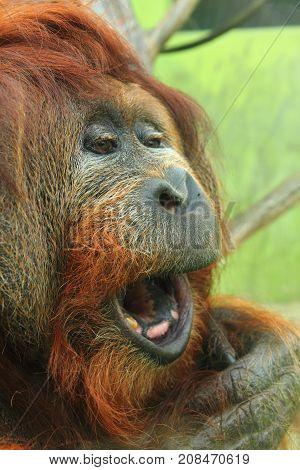 Orangutan Monkey Head